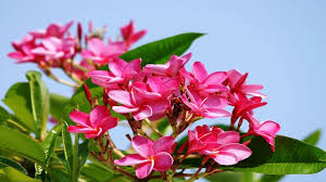 plumeria flower top 10 colorful plumeria flower you seen amazing flowers