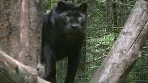 Pennsylvania wild animals images Black panthers leopards jaguars jpg