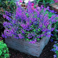 angelonia it u0027s easy to grow and flowers profusely and it u0027s