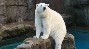Lights At Lincoln Park Zoo by Anana The Polar Bear Says Goodbye To Lincoln Park Zoo