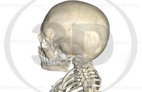 Human Jaw Bone Anatomy 3d Medical Image The Bone Structure Of The Neck And Head 25