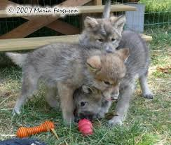 Mad Wolf Meme - wolf pup is angry picture