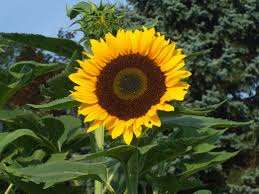 mistakes to avoid when harvesting and roasting sunflower seeds