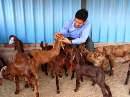 challenges and opportunities in organized goat farming experience