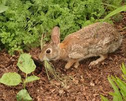 rabbit garden a vegetable garden a rabbit can vegetable gardener