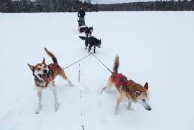 sled dogs white wilderness ely mn our dogs