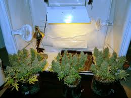 best light to grow pot how to get to harvest faster grow weed easy