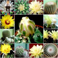 200pcs cactus succulent organic ornamental indoor seeds bonsai