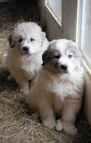 great pyrenees puppy at boondockers farm boondockers farm great