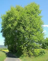 aspen tree names pictures and types of aspen species