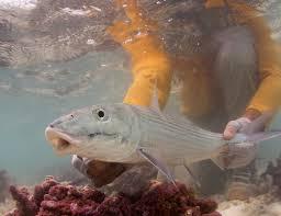 jimklug photo keywords fly fish christmas island