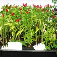 pepper thai volcano capsicum annuum packet of 30 seeds