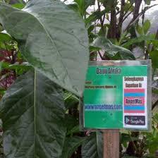 Teh Afrika bibit tanaman daun afrika teh afrika anget anget