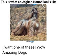 afghan hound stupid 25 best memes about afghan hound afghan hound memes