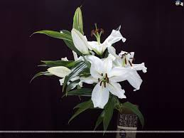 white lilies lilies wallpaper 9
