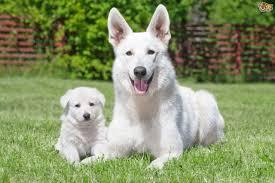 australian shepherd cost white swiss shepherd dog breed information buying advice photos
