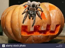 a tarantula crawls on a halloween pumpkin in the tropical aquarium