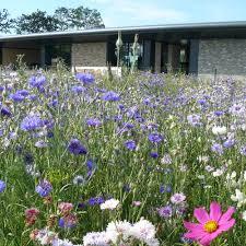 fleurs vivaces rustiques jachère fleurie pérenne fleurs d u0027antan jardin biodiversité