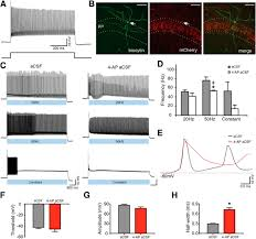 What Is Interneuron Global Optogenetic Activation Of Inhibitory Interneurons During