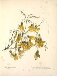 Nz Native Flora Botanical Drawings Google Search Art Nouveau