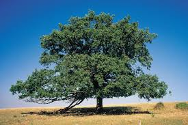 White Oak Tree Types Of Oak Trees They Are Just So Pleasant To See