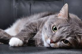 injury in cats symptoms causes diagnosis treatment recovery