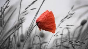 poppy wallpaper 6850378