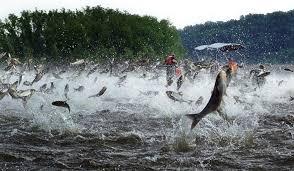 Louisiana wildlife images Louisiana chef 39 s solution to asian carp invasion eat them jpg