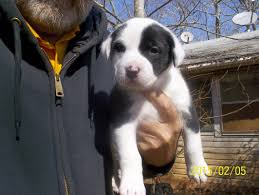 bluetick coonhound lab mix puppies for sale dogs ready for adoption alabama angels dog rescue