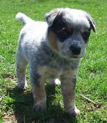 australian shepherd qld the baby bump blues finished the baby blues part 7 for