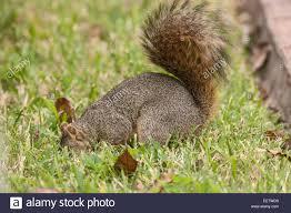 eastern fox squirrel burying nuts in a backyard in houston texas