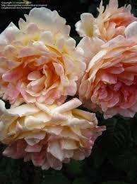 plantfiles pictures large flowered climbing rose u0027garden sun u0027 1