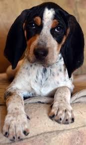 bluetick coonhound beagle plott hound plott hound 0037 jpg plott hound pinterest