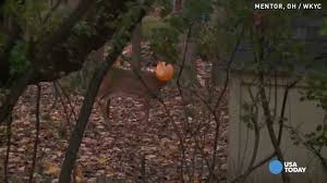 poor deer gets head caught in plastic halloween pumpkin youtube