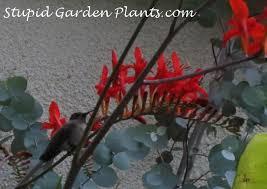 Hummingbird Flowers Hummingbird Flowers U2013 How To Attract Hummingbirds Stupid Garden