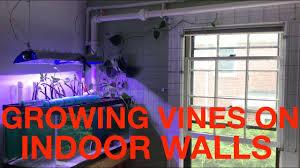 an indoor trellis for growing vines youtube