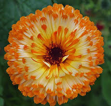 216 best annual flowers images on pinterest annual flowers