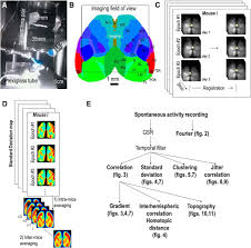 led len fã rs badezimmer mesoscale mapping of mouse cortex reveals frequency dependent