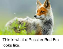 Meme Fox - this is what a russian red fox looks like meme on me me