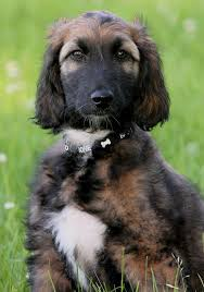 afghan hound breeders europe afghan shepherd puppies funny puppy u0026 dog pictures