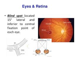 Blind Spot In Eyes Afferent Visual Pathway