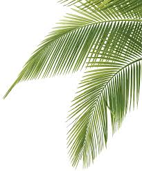 palm sunday palms for sale cp paurb pics photos palm sunday leaves 2014 palm leaves stock