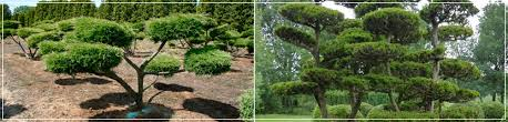 Topiary Cloud Trees - cloud pruned trees ilex crenata holly beech pine yew topiary