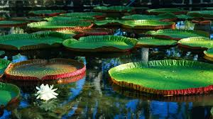 australian native aquatic plants water flowers giant lily pads water lilies victoria australia