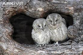 common scops owl photo otus scops g43101 arkive