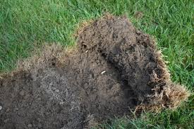 How To Get Rid Of Moles In The Backyard by Skunks Digging Moles Tunneling Why Are They Digging Up My Lawn