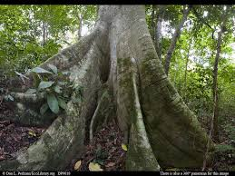 Tropical Rainforest Plant List - panorama of lowland tropical rainforest with giant fig tree