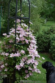 clematis plant care and collection of varieties garden org