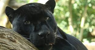 Kentucky wild animals images Living alongside wildlife so you say you saw a black panther jpg