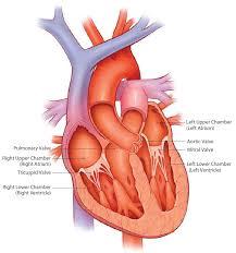 Anatomy Of Heart Valve About Heart Valves U0026 Severe As Corevalve Tavr Medtronic